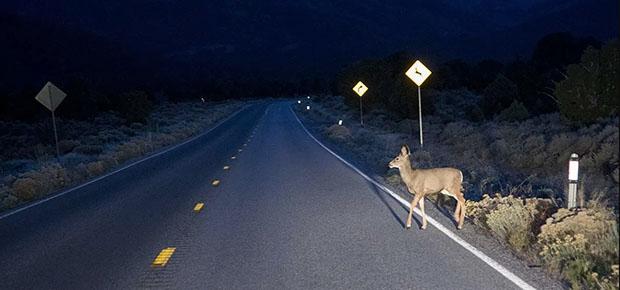 Động vật băng qua đường cũng là mối nguy hiểm khi lái xe buổi đêm